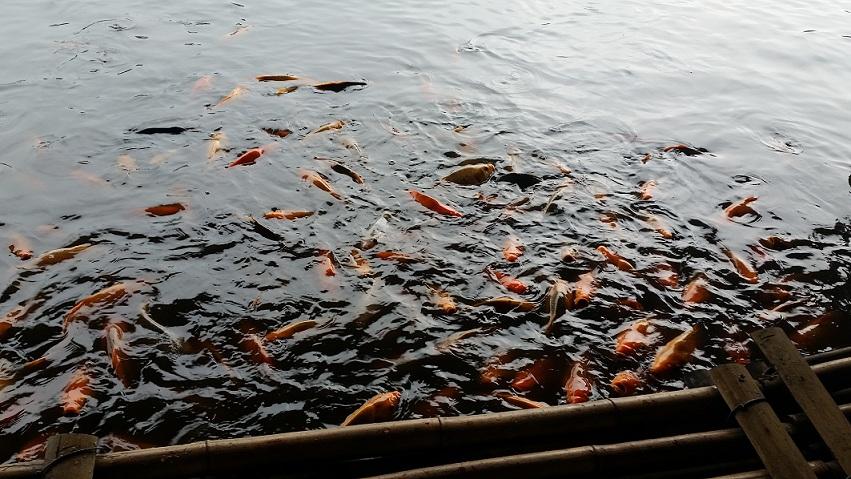 Banyak ikan emas di danau nya Floating Market