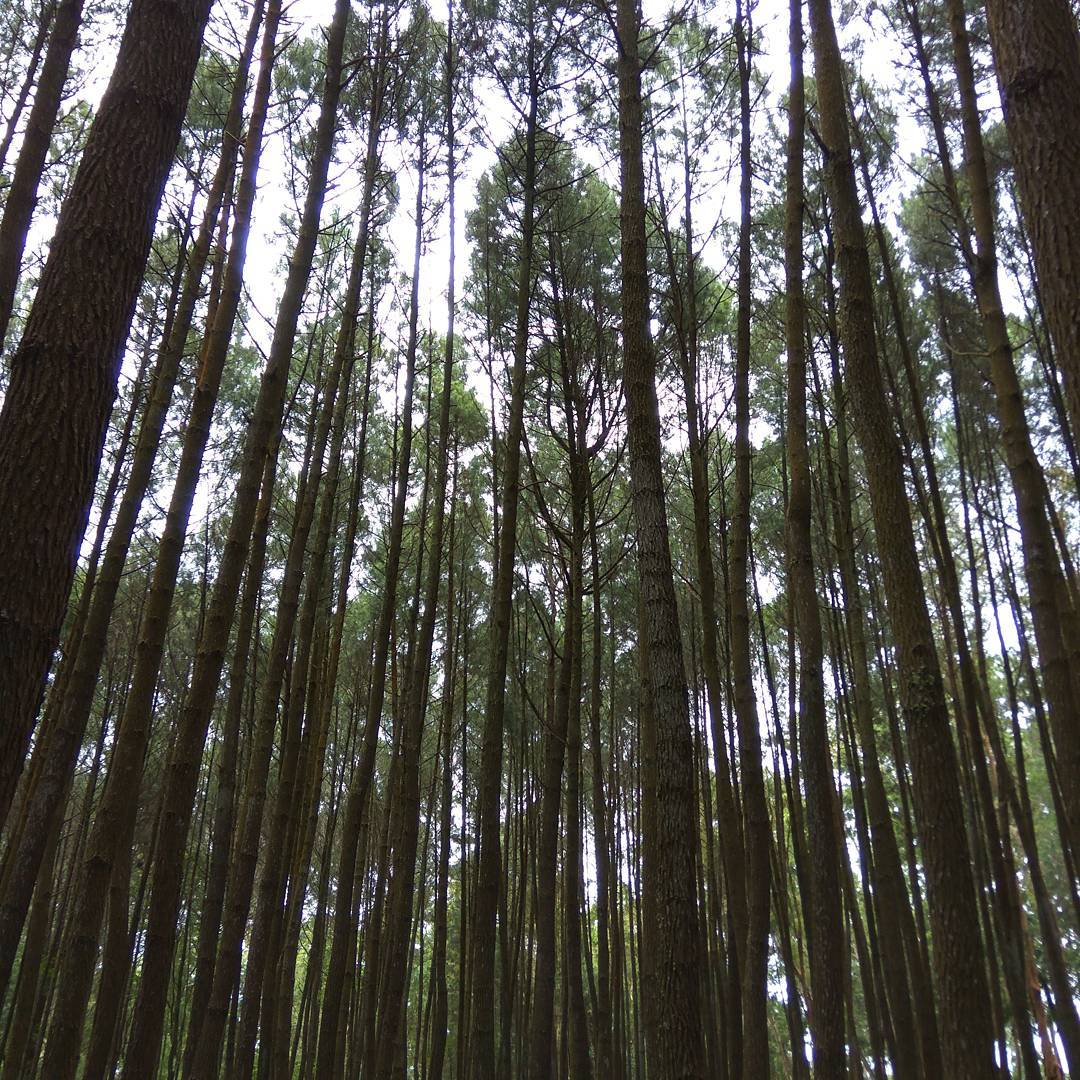Hutan Pinus Imogiri Hutan Pinus Imogiri